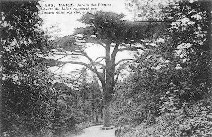 201 Jardin des plantes. Cèdre du Liban
