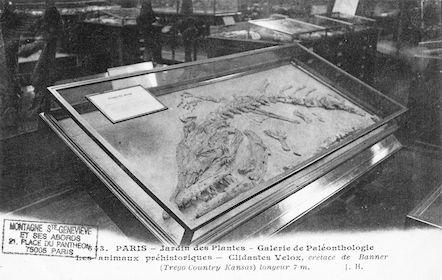 208 Jardin des plantes. Galerie Paléonthologie. Clidastes velox