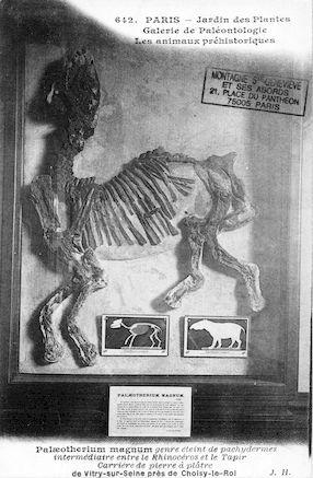211 Jardin des plantes. Galerie de paléontologie. Palaeotherium magnum