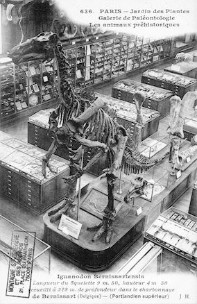 213 Jardin des plantes. Galerie de Paléontologie. Iguanodon bernissartensis