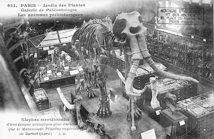 215 Jardin des plantes. Galerie de Paléontologie. Elephas meridionalis