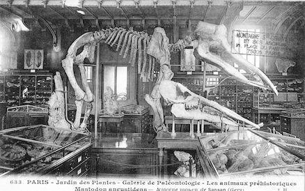 216 Jardin des plantes. Galerie de Paléontologie. Mastodon augustidens