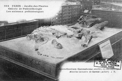 217 Jardin des plantes. Galerie de paléonthologie. Acerotherium gannatense