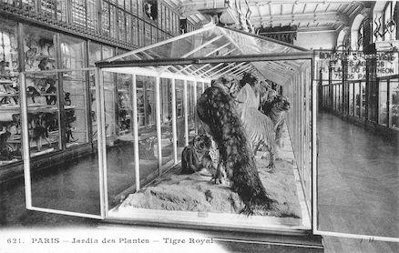 219 Jardin des plantes. Tigre royal