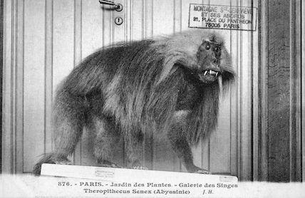 225 Jardin des plantes. Galerie des singes. Theropithecus senex