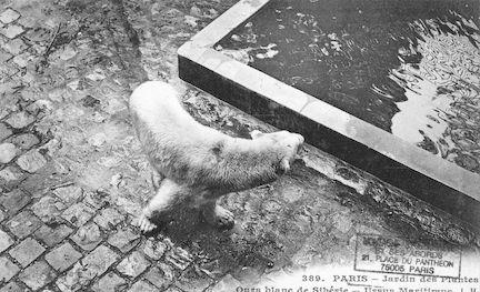 226 Jardin des plantes. Ours blanc de Sibérie