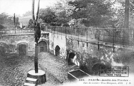 230 Jardin des plantes. Ours des cocotiers. Ursus malayensis