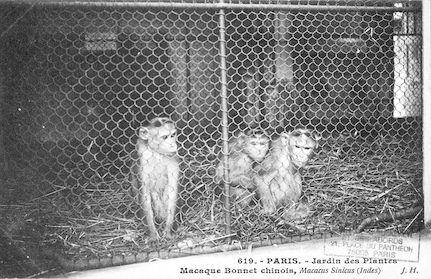 233 Jardin des plantes. Macaques Bonnet chinois. Macacus sinicus