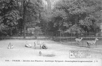 237 Jardin des plantes. Antilope Nylgaut. Boselaphus tragocamelus