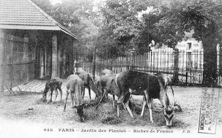 238 Jardin des plantes. Biches de France
