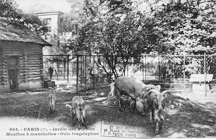 239 Jardin des plantes. Mouflon à manchettes. Ovis tragelaphus