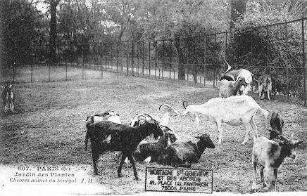 240 Jardin des plantes. Chèvres naines du Sénégal