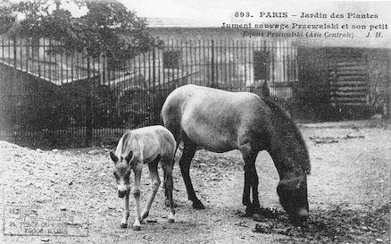 244 Jardin des plantes. Jument sauvage Przewalski et son petit. Equus przewalski