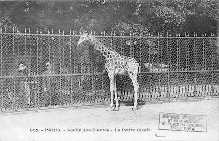 247 Jardin des plantes. La petite girafe