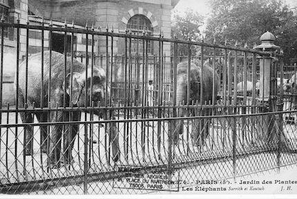 251 Jardin des plantes. Les éléphants Sarrith et Koutsch