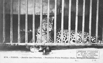 256  Jardin des plantes. Panthère. Felis pardus