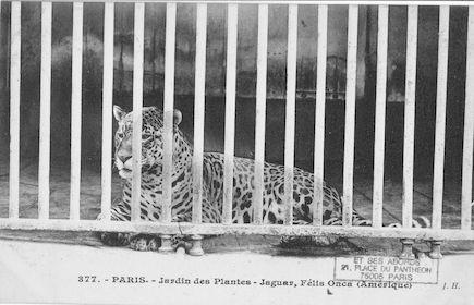 257 Jardin des plantes. Jaguar. Felis onca