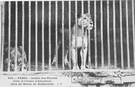 258 Jardin des plantes. Lion et lionne d'Abyssinie