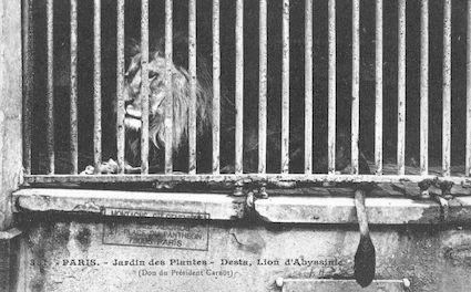 259 Jardin des plantes. Desta, lion d'Abyssinie