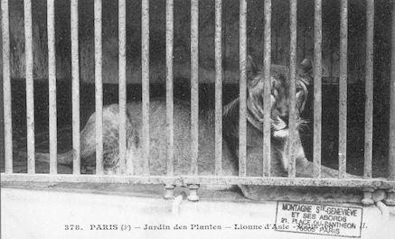 260 Jardin des pantes. Lionne d'Asie. Felis leo