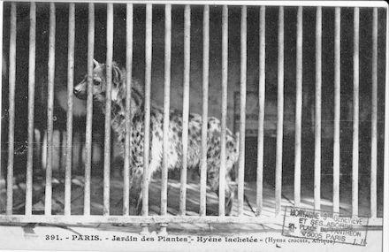 261 Jardin des plantes. Hyène tachetée. Hyena crocuta.