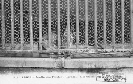 262 Jardin des plantes. Caracal. Felis caracal