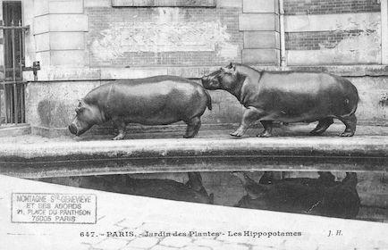 263 Jardin des plantes. Les Hippopotames