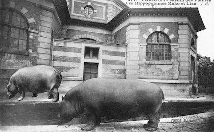 264 Jardin des plantes. ls Hippopotames Kako et Liza