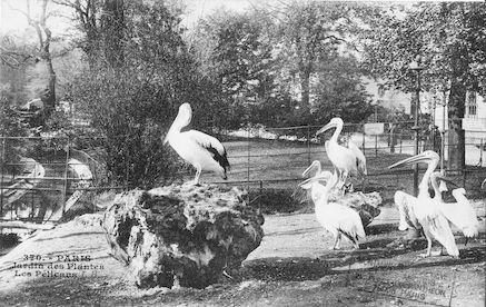 270 Jardin des plantes. Les Pélicans