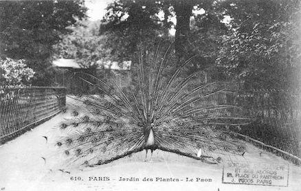 272 Jardin des plantes. Le Paon
