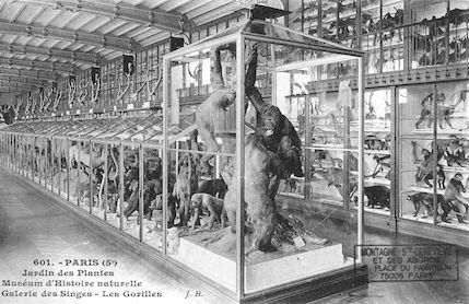 496 Jardin des plantes. Museum d'histoire naturelle Galerie des singes. Les Gorilles