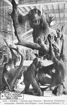 497 Jardin des plantes. Museum d'histoire naturelle. Galerie des singes. Les Orang-Outans