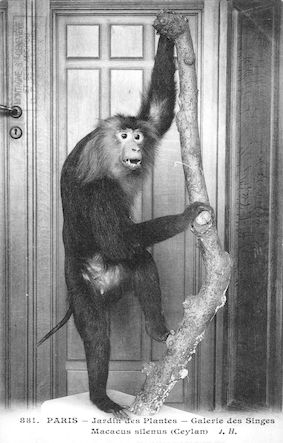 498 Jardin des plantes. Museum d'histoire naturelle. Galerie des singes. Macacus silenus