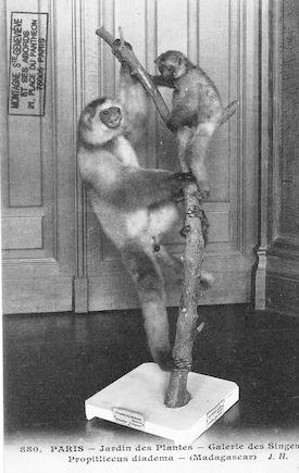 499 Jardin des plantes. Galerie des singes. Propitliecus diadema