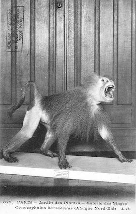 502 Jardin des plantes. Galerie des singes. Cynocephalus hamadryas