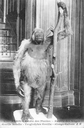 504 Jardin des plantes. Galerie des singes. Gorille femelle. Troglodytes gorrilla