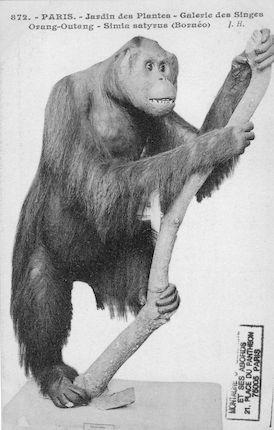 505. Jardin des plantes. Galerie des singes. Orang Outang Simia satyrus