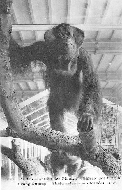 506 jardin des plantes galerie des singes Orang Outang