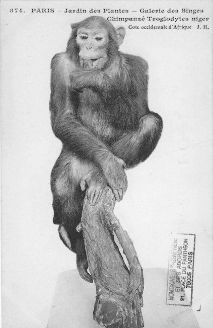 508 jardin des plantes galerie des singes Chimpanzé troglodytes niger